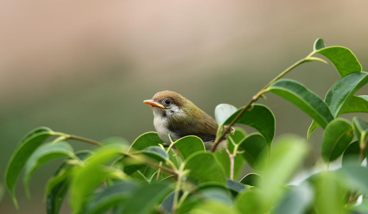 tailor-bird