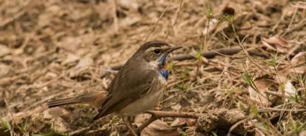 blue-throat