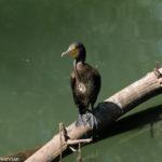inidan cormorant