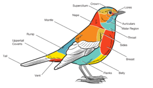 basic-parts-of-a-bird