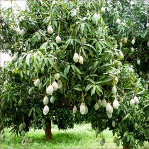 1.mango tree