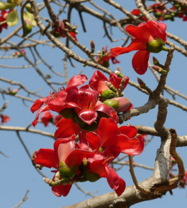 Bombax malabaricum, Red Silk-cotton Tree