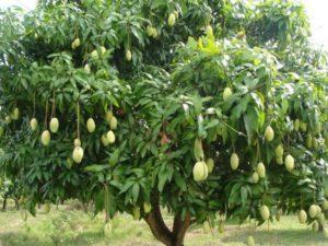 Mango-Tree-