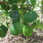Pterocarpus_santalinus_04