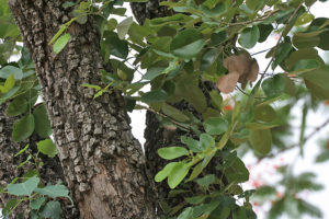 Pterocarpus_santalinus_in_Talakona_forest,_AP_W_IMG_8099