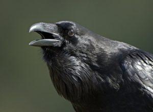 crow_beakopen1
