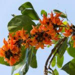 Bastard Teak flower (scientific name: Butea monosperma) beautiful orange flowers bloom on a tree with blue sky.