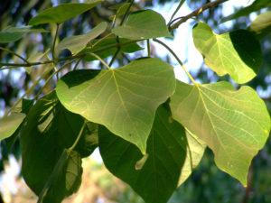 Gmelina Arborea Tree
