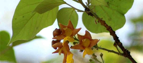 Gmelina Arborea Tree2