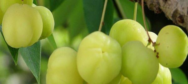 Gooseberry tree2