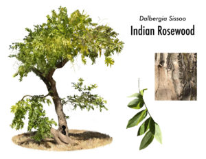 Indian Rosewood Tree
