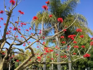 Indian coral tree2