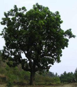 Mahua Tree2