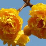 Yellow Silk Cotton Tree2