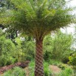 inidian date palm tree