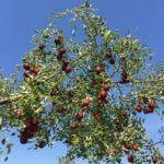 jujube_tree2