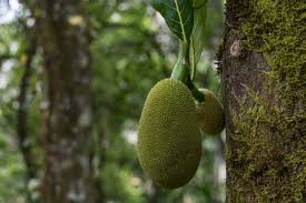 monkey jack fruit2